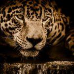 赤門寅  雄猫 重蔵との運命の出会いとプレミアムキャットフード ジャガーを選んだ理由