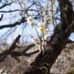 お花見に行ってきました!栃木県足利市 西渓園 山の斜面に広がる梅林の美しさに感動