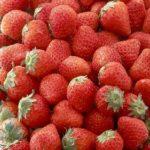 通販で買える!栃木県のいちご 人気ランキング いわふねフルーツパークでいちご狩りを楽しんだ赤門家 栃木県のイチゴお勧め!