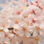 厳選! 通販で買える 人気の桜スイーツランキング ベスト20