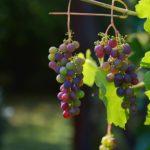 美味しいブドウをAmazon通販でお取り寄せ ギフトにも人気のブドウとスイーツランキング